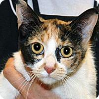 Domestic Shorthair Cat for adoption in Wildomar, California - Nancy