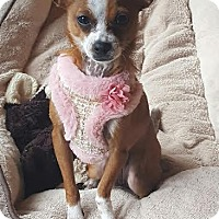 Chihuahua Mix Puppy for adoption in Shakopee, Minnesota - Harmony D3204