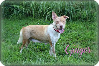 Australian Shepherd/Australian Cattle Dog Mix Dog for adoption in Clarksville, Tennessee - Ginger  **SPONSORED**