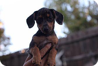 Dachshund/Chihuahua Mix Puppy for adoption in Lodi, California - Winnie