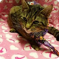 Adopt A Pet :: Sunshine - declaw - Herndon, VA