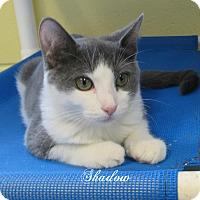 Adopt A Pet :: Shadow - Jackson, NJ
