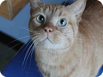 Domestic Mediumhair Cat for adoption in Decatur, Illinois - BUTTERSCOTCH