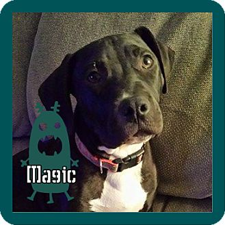 American Pit Bull Terrier Mix Puppy for adoption in Des Moines, Iowa - Magic