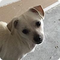 Chihuahua Mix Puppy for adoption in San Antonio, Texas - Sammy