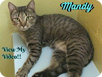 Domestic Shorthair Cat for adoption in Sarasota, Florida - Mandy