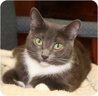 Domestic Shorthair Cat for adoption in Bonita Springs, Florida - Vicky