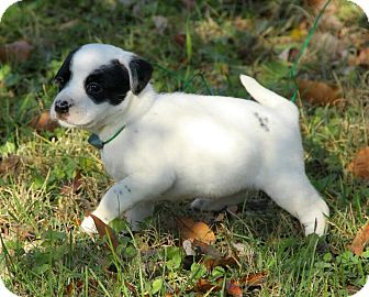 Boxer/Dalmatian Mix Puppy for adoption in Plainfield, Connecticut - Annabell
