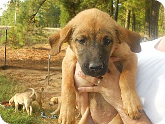 Redbone Coonhound/German Shepherd Dog Mix Puppy for adoption in Conyers, Georgia - Lola