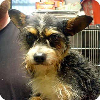 Yorkie, Yorkshire Terrier/Schnauzer (Miniature) Mix Dog for adoption in baltimore, Maryland - Bubba