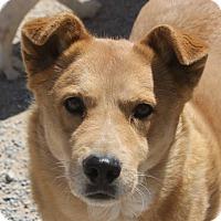 Golden Retriever Mix Dog for adoption in Las Vegas, Nevada - Ozzie