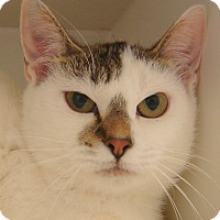 Domestic Shorthair Cat for adoption in Cloquet, Minnesota - Gracie