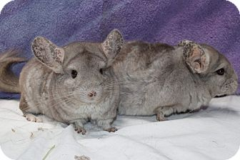 Chinchilla for adoption in Montclair, California - Ming