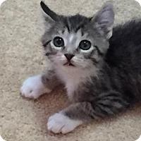 Adopt A Pet :: Laysha - Grand Ledge, MI