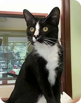 Domestic Shorthair Cat for adoption in Shinnston, West Virginia - Sam
