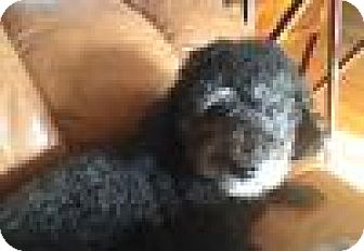 Poodle (Miniature)/Miniature Schnauzer Mix Dog for adoption in Beverly Hills, California - Frankie - Courtesy Post