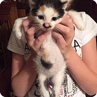 Adopt A Pet :: Callie - Putnam, CT