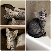 Adopt A Pet :: Tiny Tabbies - Hazlet, NJ