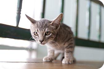 Domestic Shorthair Kitten for adoption in San Antonio, Texas - Hyde