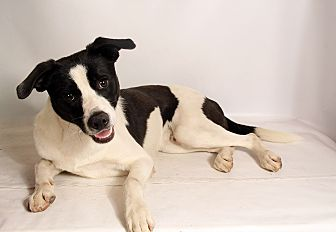 Border Collie Mix Dog for adoption in St. Louis, Missouri - Terry BC Mix