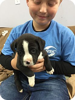 Labrador Retriever/Terrier (Unknown Type, Medium) Mix Puppy for adoption in Hawk Point, Missouri - Apollo