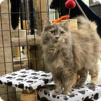 Domestic Longhair Cat for adoption in West Des Moines, Iowa - Stormie