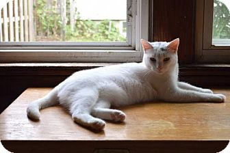 Domestic Shorthair Cat for adoption in Monticello, Iowa - Emmi Pearl