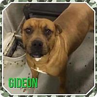 Adopt A Pet :: Gideon - Pomfret, CT