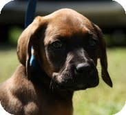 Boxer/Hound (Unknown Type) Mix Puppy for adoption in Staunton, Virginia - Boone