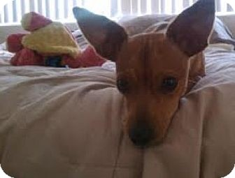 Chihuahua Mix Dog for adoption in Las Vegas, Nevada - Larry & Mo