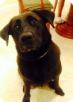 Labrador Retriever Mix Dog for adoption in Boca Raton, Florida - VELVET