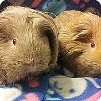 Adopt A Pet :: Chrissy and Peaches (OCCH pig) - Fullerton, CA