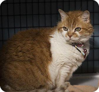 Domestic Mediumhair Cat for adoption in Denver, Colorado - Peaches