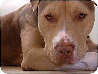 American Pit Bull Terrier/Labrador Retriever Mix Dog for adoption in Santa Monica, California - Coffee