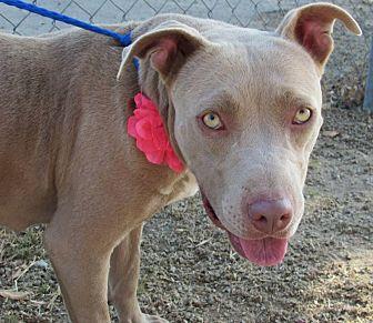 Weimaraner/Pit Bull Terrier Mix Dog for adoption in eagle point, Oregon - Belle
