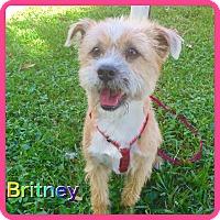 Adopt A Pet :: Britney - Hollywood, FL