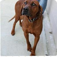 Adopt A Pet :: Margo (pom-dc) - Hagerstown, MD