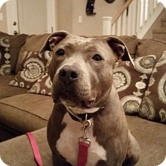 American Pit Bull Terrier Mix Dog for adoption in Las Vegas, Nevada - Stella