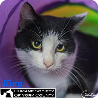 Domestic Shorthair Cat for adoption in Fort Mill, South Carolina - King