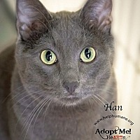 Russian Blue Cat for adoption in Belton, Missouri - Han