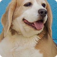 Beagle Mix Dog for adoption in Joplin, Missouri - Shortie