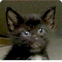 Adopt A Pet :: Topaz - Springdale, AR