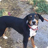 Adopt A Pet :: Rebel - Boise, ID