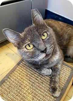 Domestic Shorthair Cat for adoption in Salisbury, Massachusetts - Lyanna