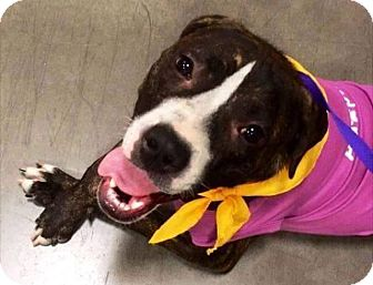 Boxer Mix Dog for adoption in Phoenix, Arizona - Paisley