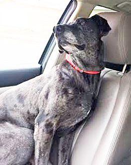 Great Dane Dog for adoption in San Diego, California - Giacomo