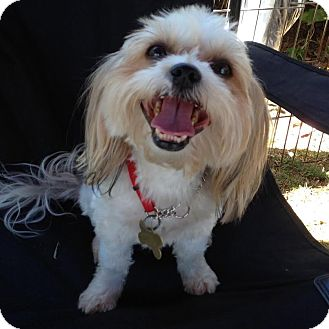 Yorkie, Yorkshire Terrier/Shih Tzu Mix Dog for adoption in Los Angeles, California - YAYA