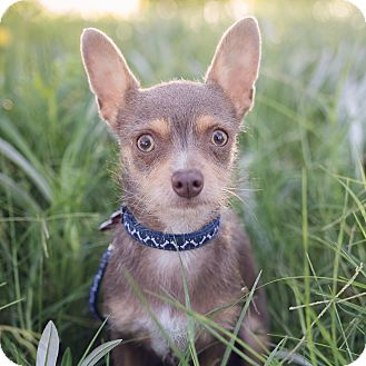 Yorkie, Yorkshire Terrier/Chihuahua Mix Dog for adoption in Oakley, California - Felix