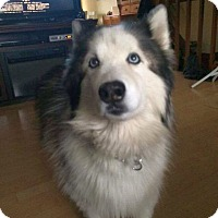 Husky Dog for adoption in Columbus, Ohio - Nanook
