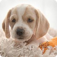 Adopt A Pet :: Corey - San Diego, CA